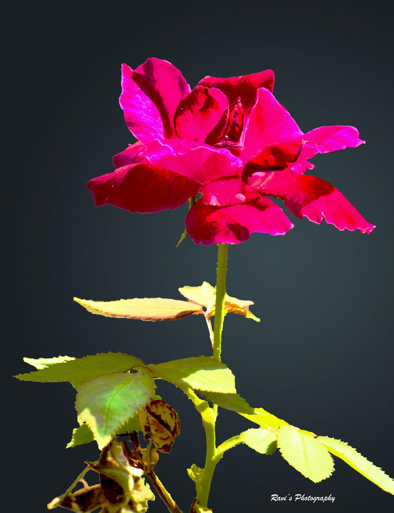 Rose by Clicks_ravi