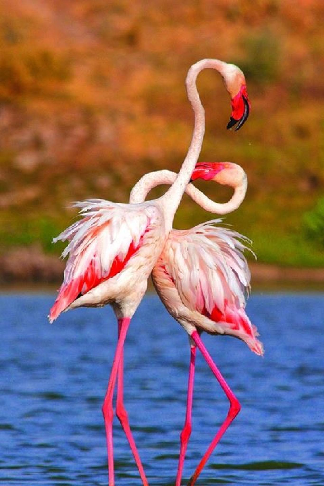 Beautiful Flamingo Couple  by Clicks_ravi