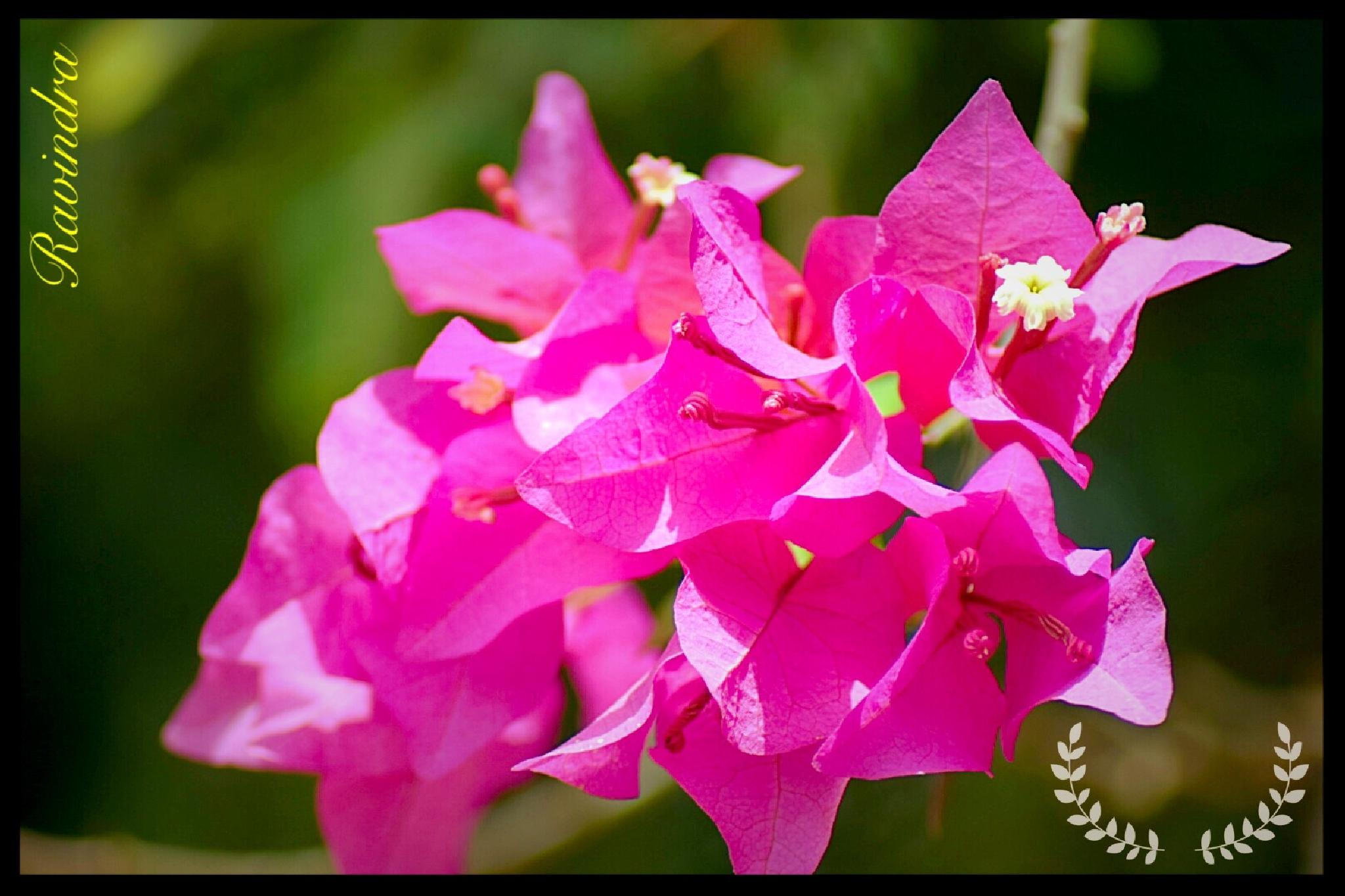 Flowers of Boganvail by Ravi