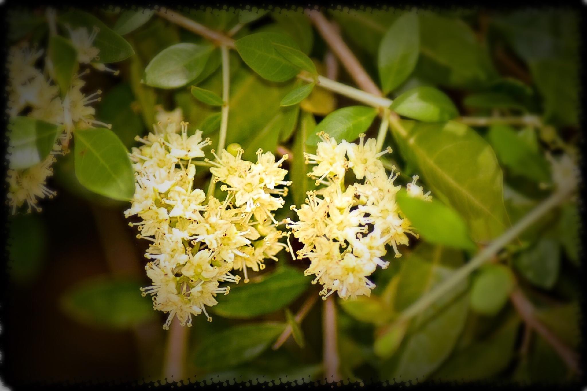 Flowers of Heena by Ravi