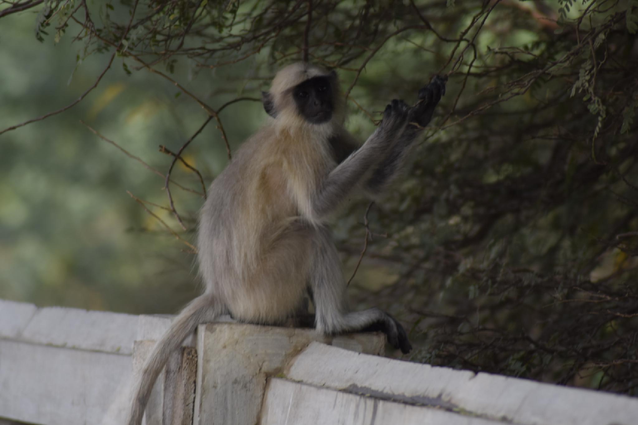 A baby monkey by Clicks_ravi