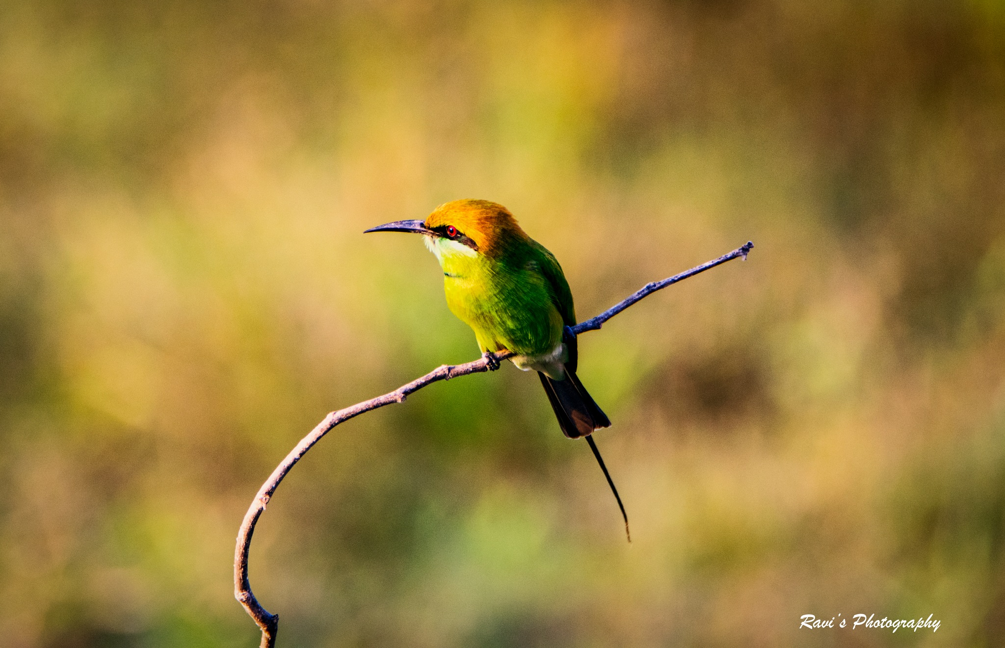 Green Bee Eater by Ravi