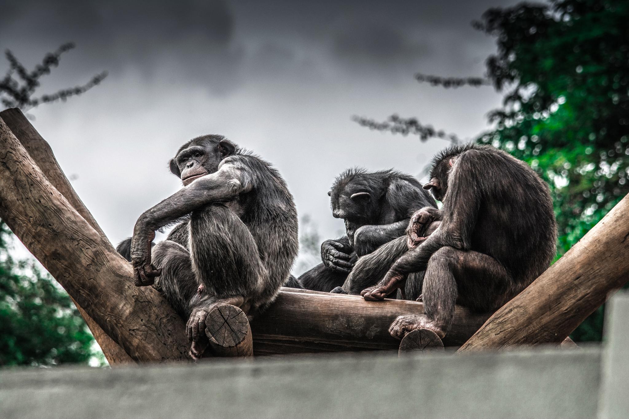 Chimps by Speed Wiz