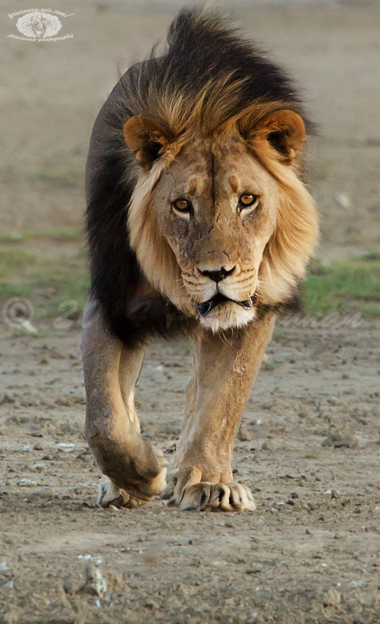 African Lion by PRWinnan