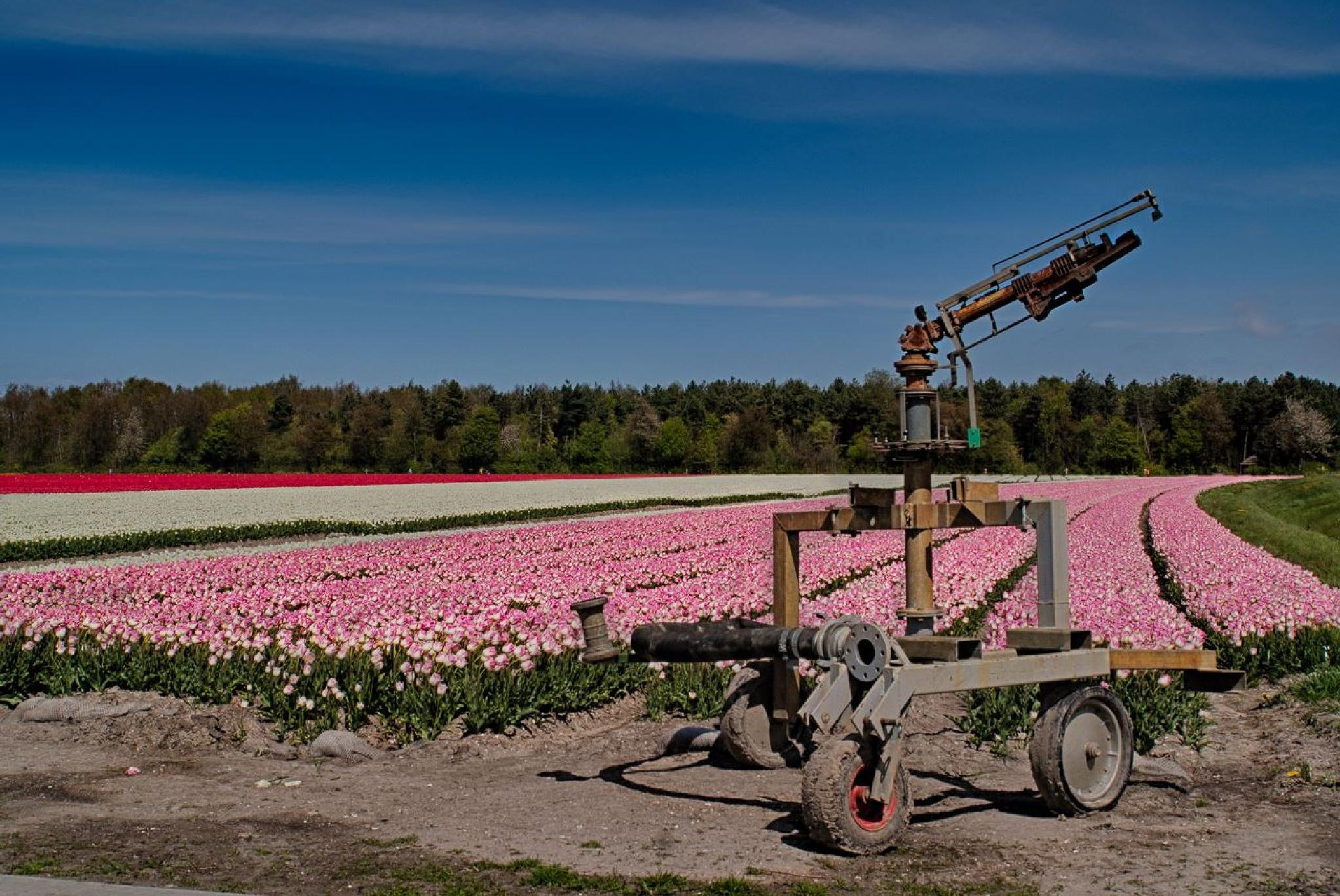 Tulip Flowerbeds by frans.ditucci