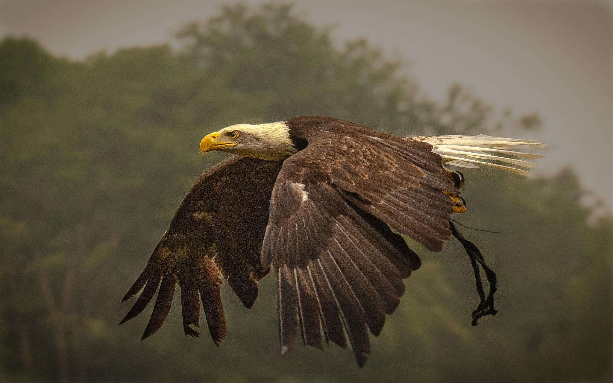 Amarican sea eagle at a Bird show by frans.ditucci