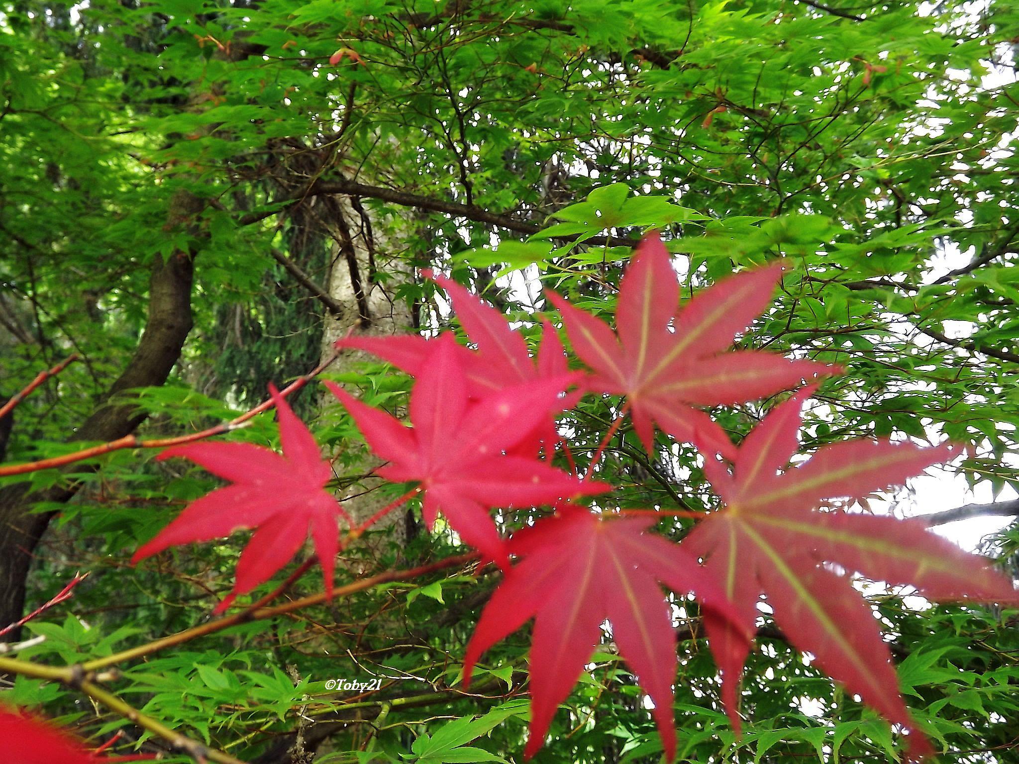 canadian maple tree by b.xoxoxo