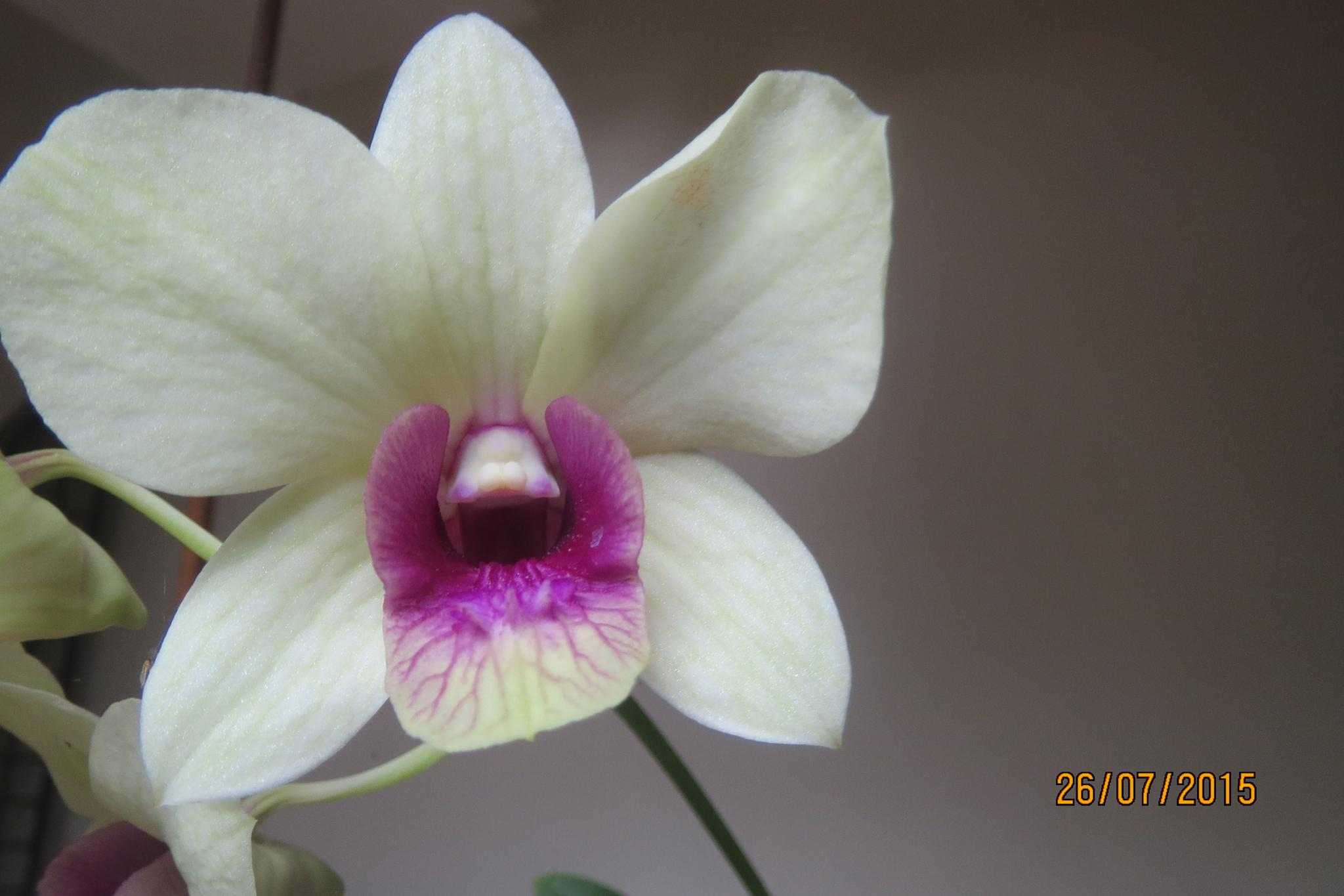 orchid. by eapenthomas2