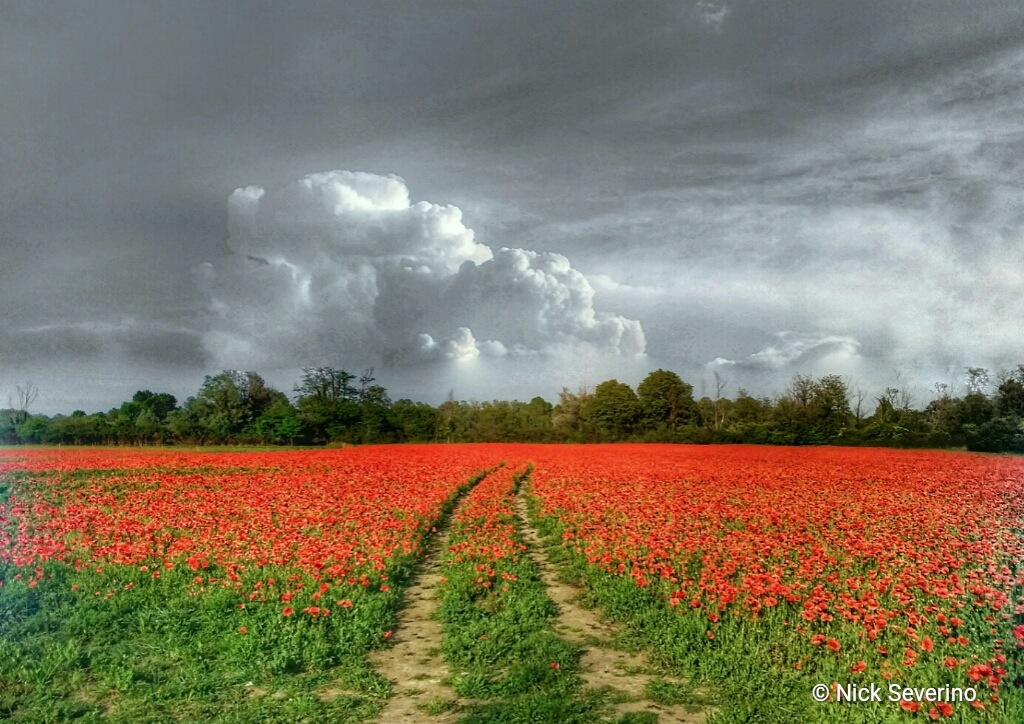 Poppies field by Nick Severino