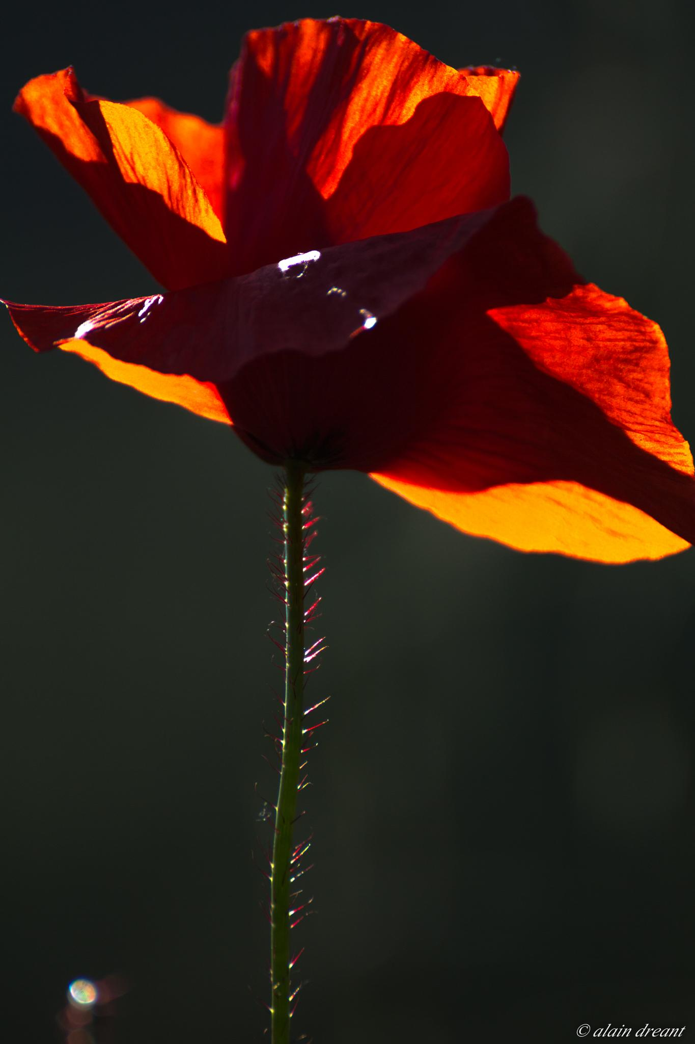 Coquelicot by alaindreant