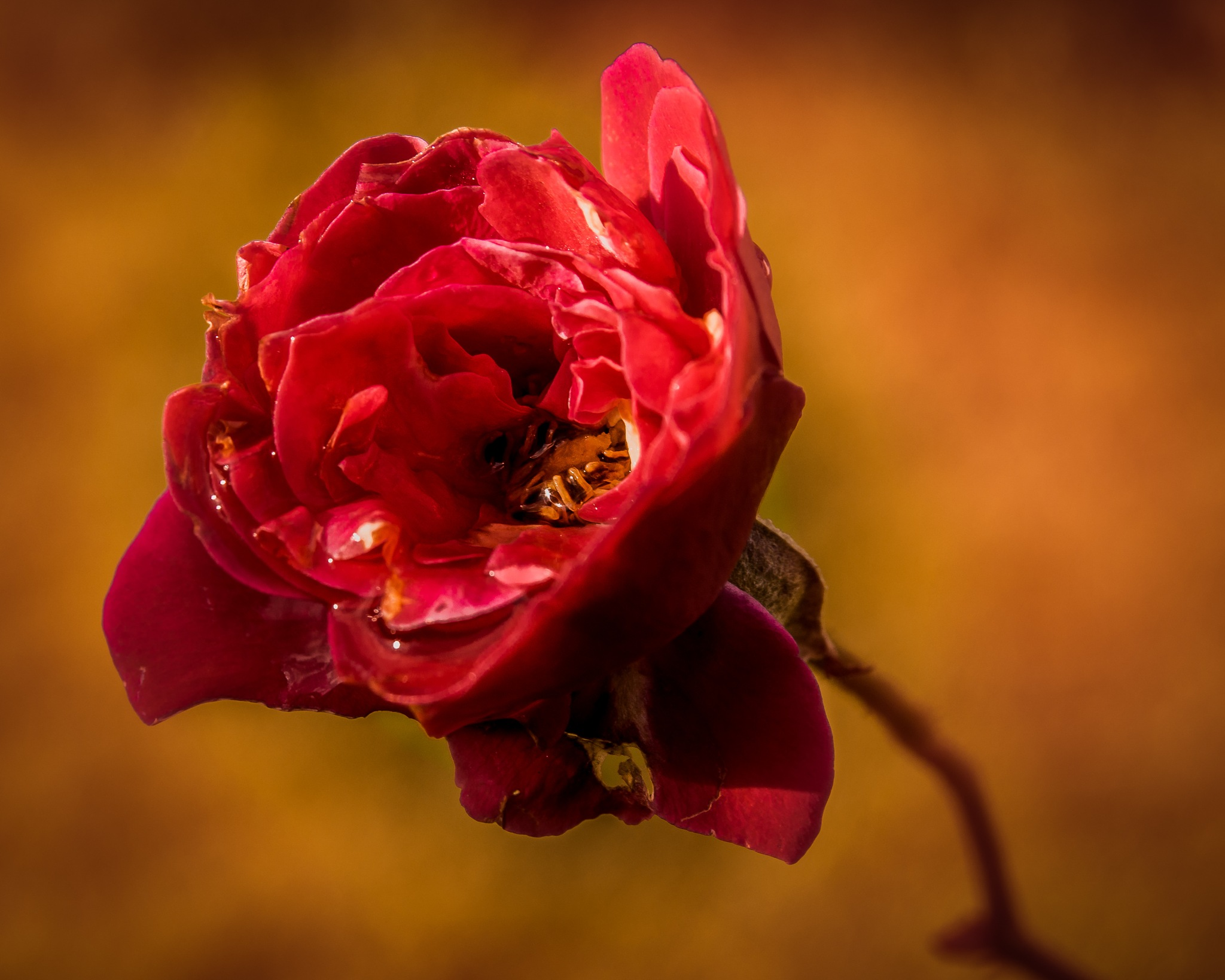 The end of life for the red rose by Thore's photo