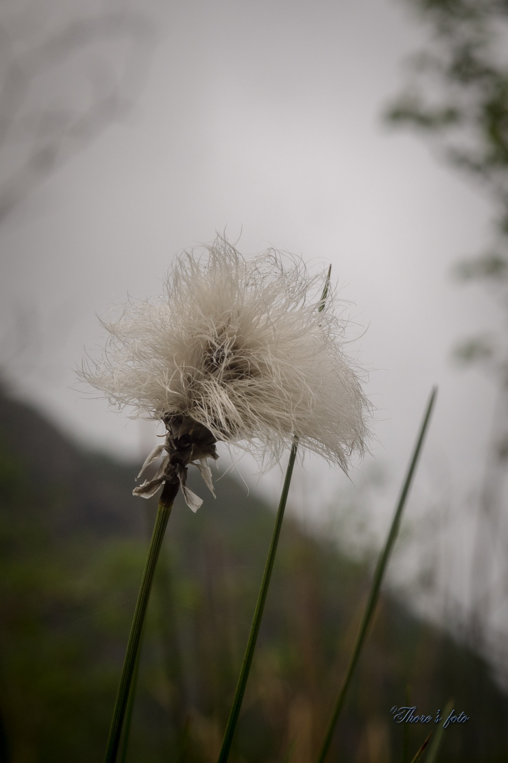 Cottongrass by Thore's photo