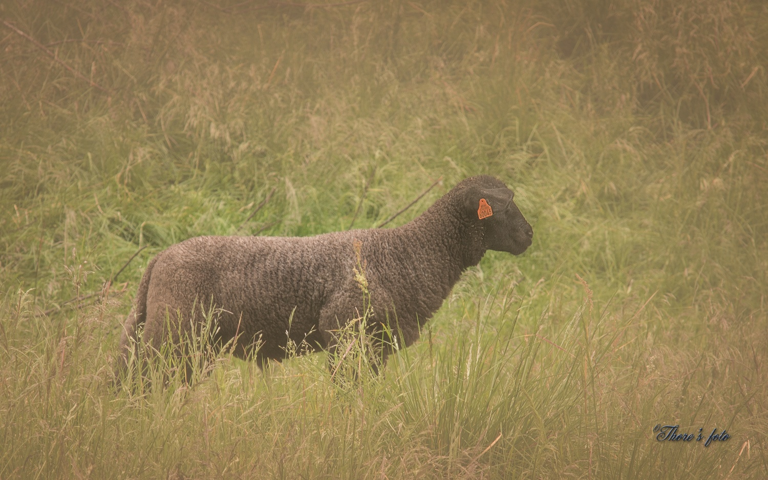The little black sheep by Thore's photo