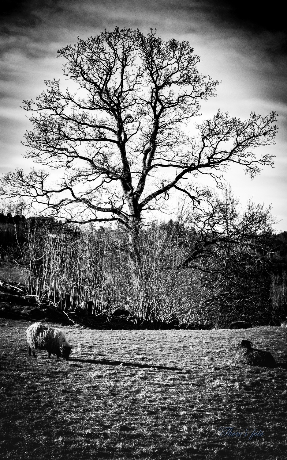 tree and sheep by Thore's photo