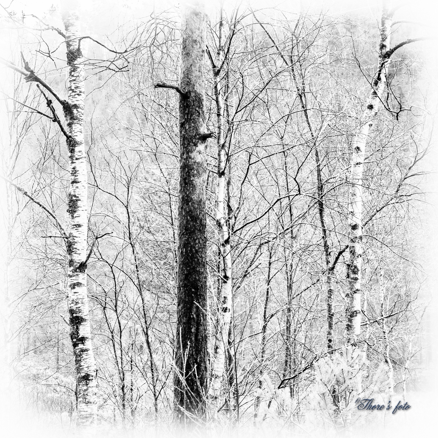 birchs and a pine trunk by Thore's photo