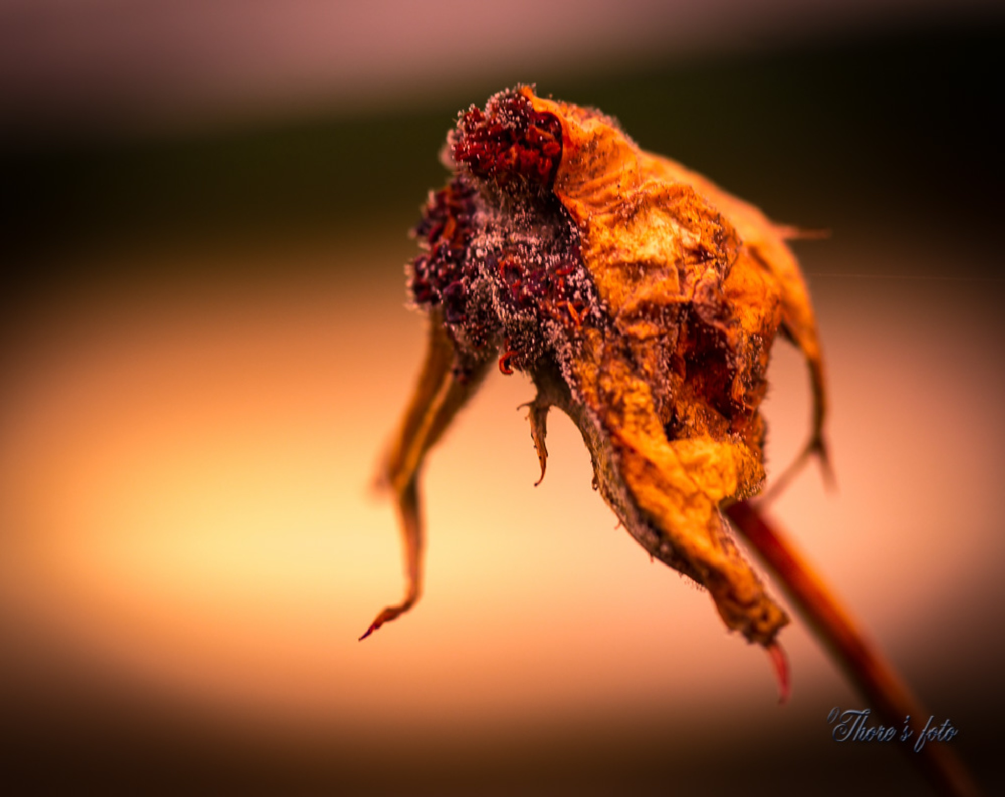 a dead rose by Thore's photo