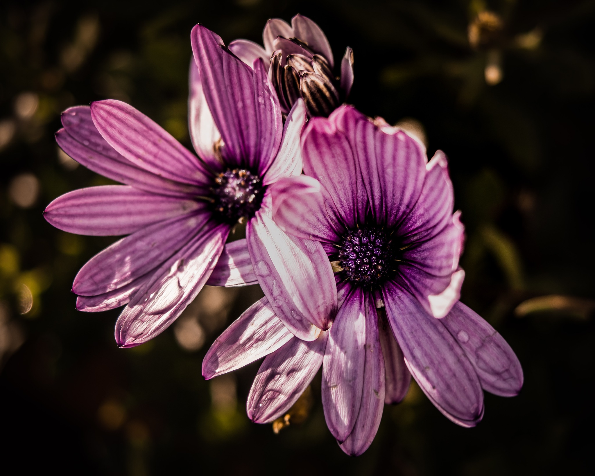 Purple marguerits with raindrops by Thore's photo