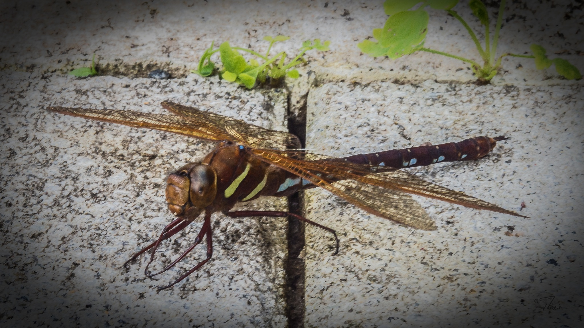 The dragenfly by Thore's photo