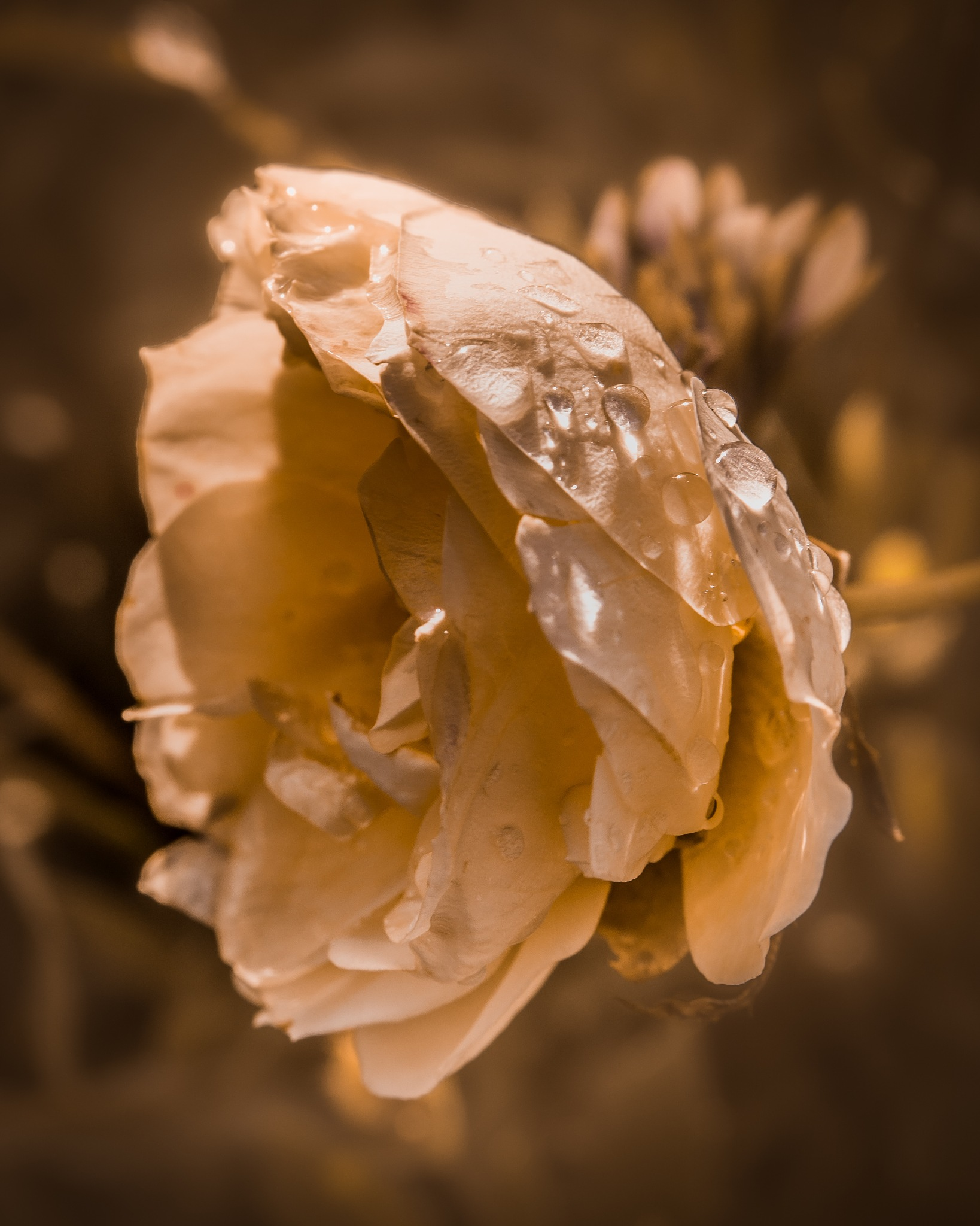 The last days of a white rose... by Thore's photo