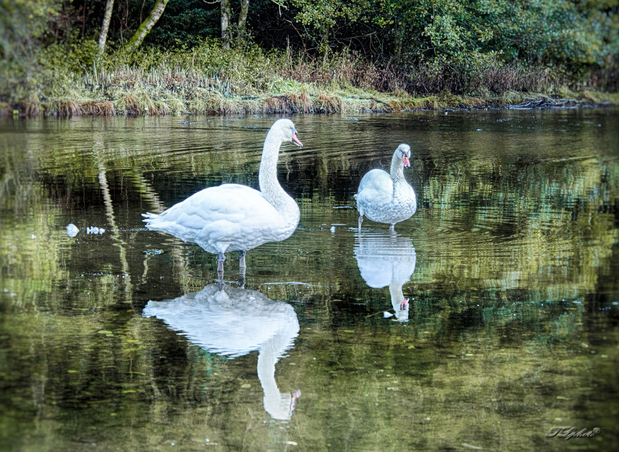 two swans by Thore's photo