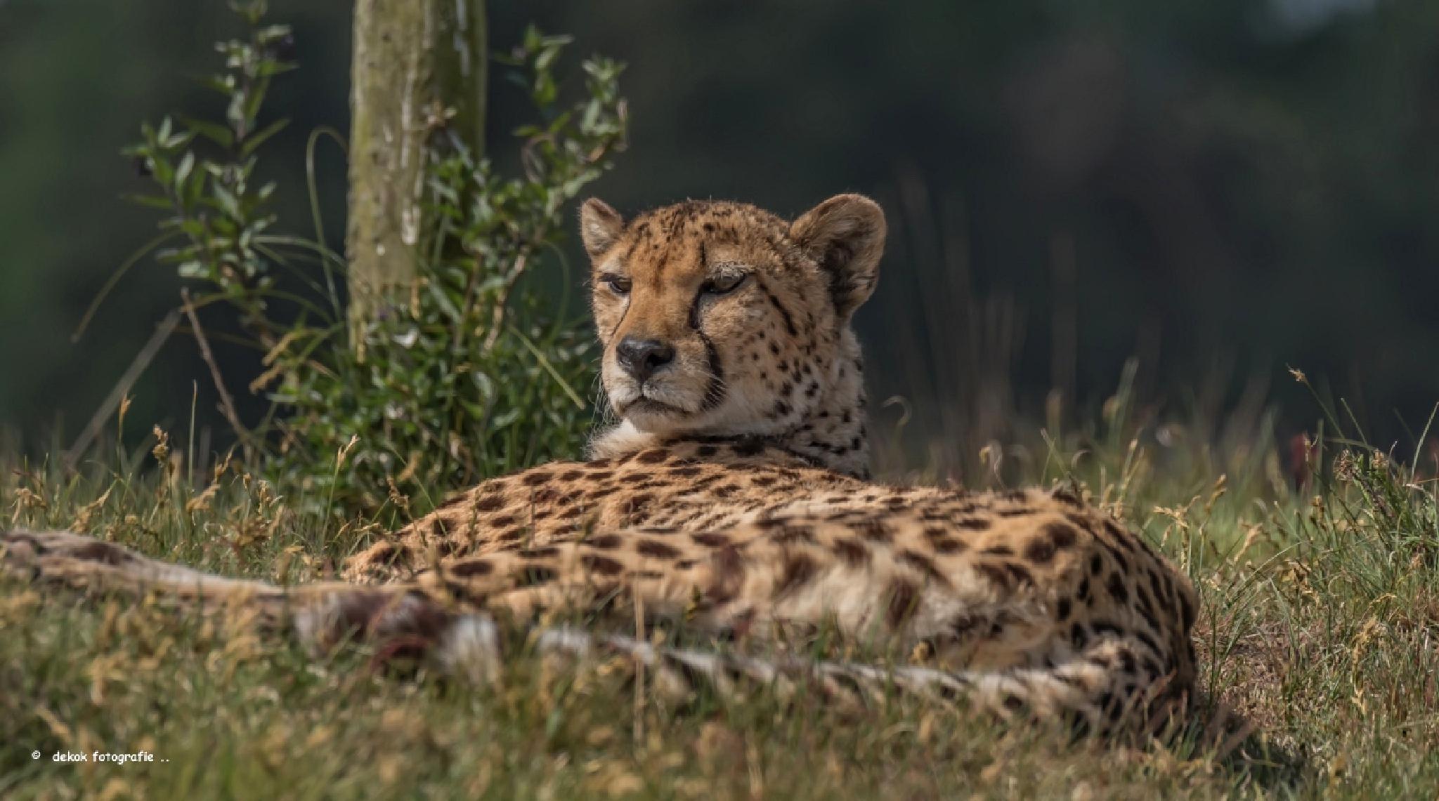 Cheeta . by Patrick