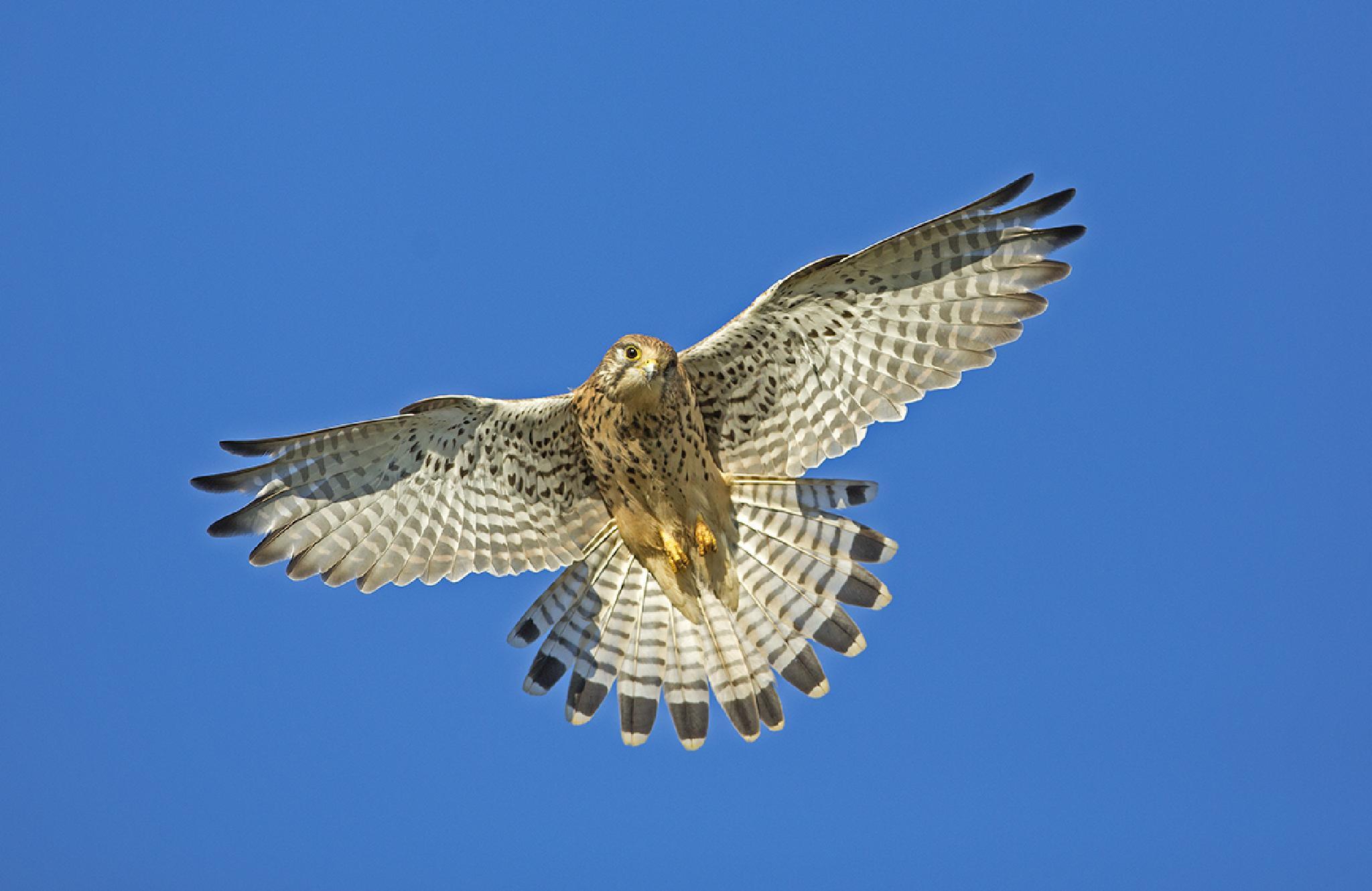 kestrel hovering by Matthew Maran