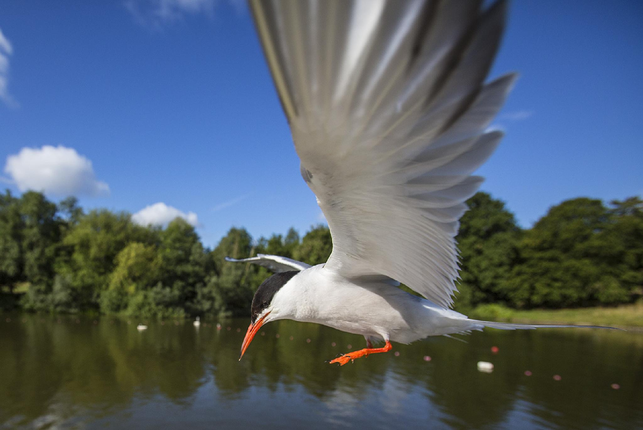 Common Tern landing by Matthew Maran