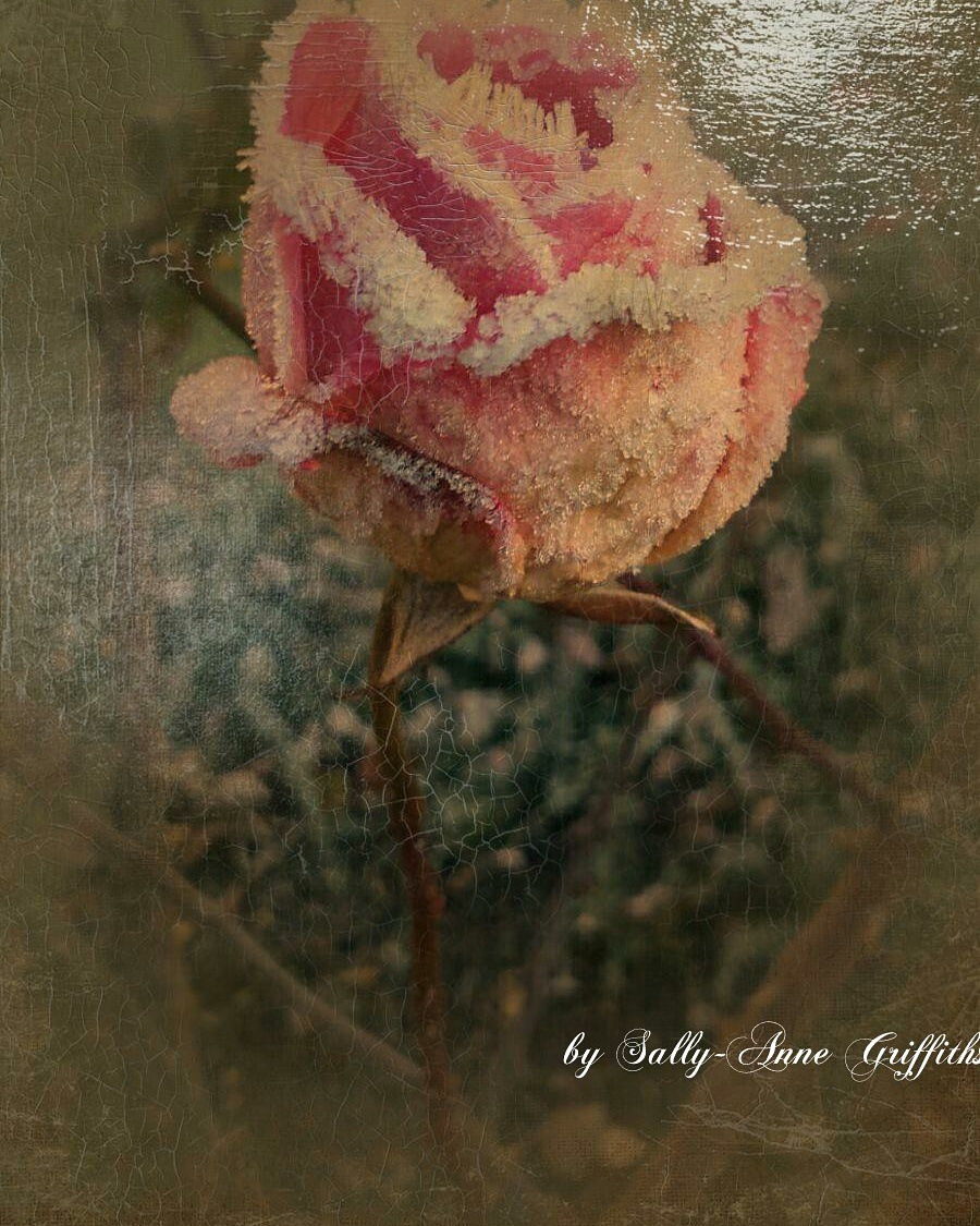 making the frosty rose look arty  by sallyannegriff