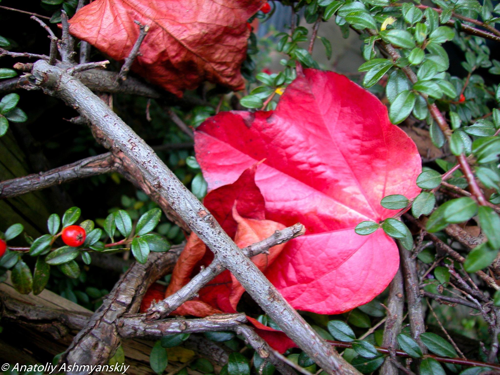 Autumn leaf by Anatoliy Ashmyanskiy