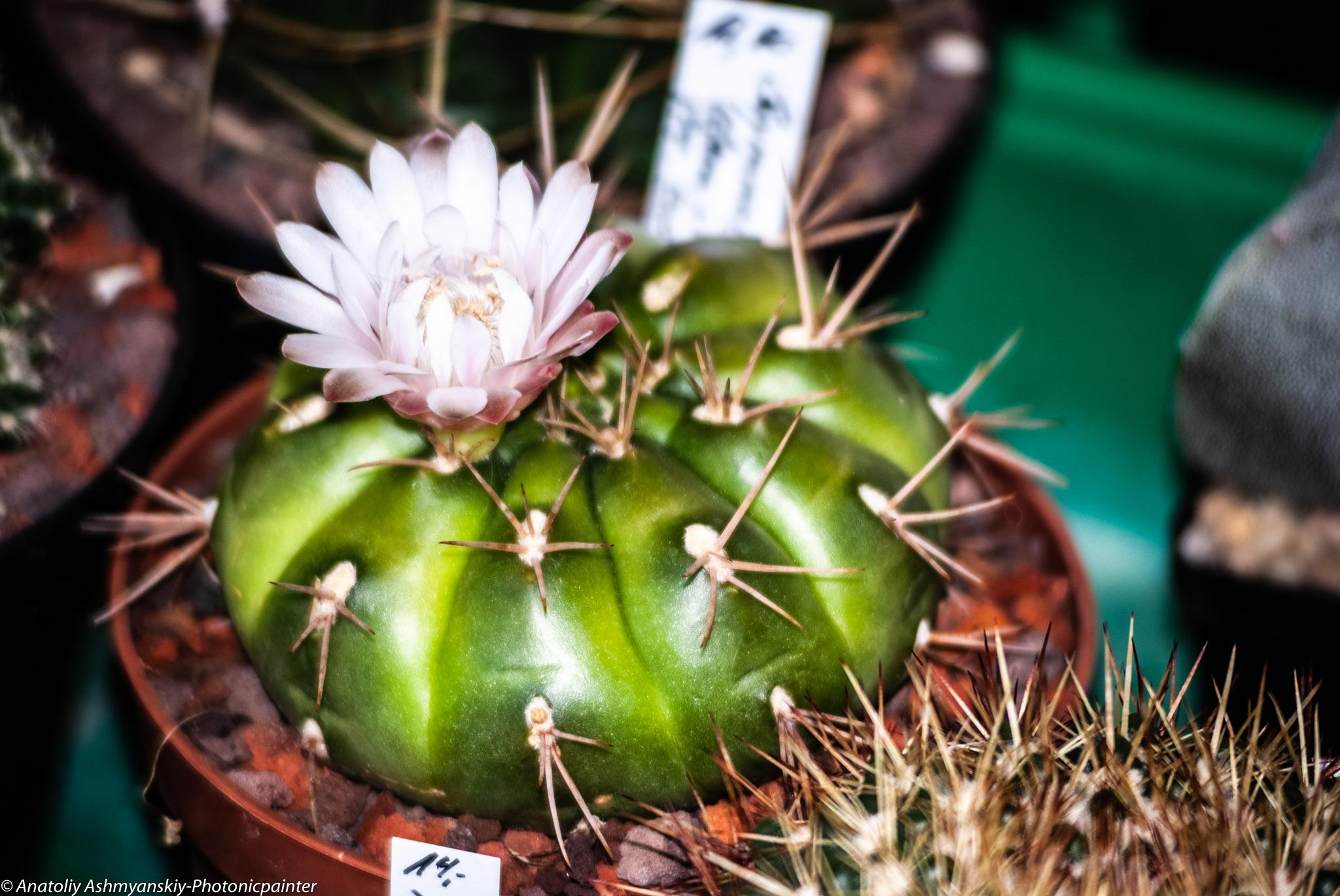 Gymnocalicium cactus by Anatoliy Ashmyanskiy