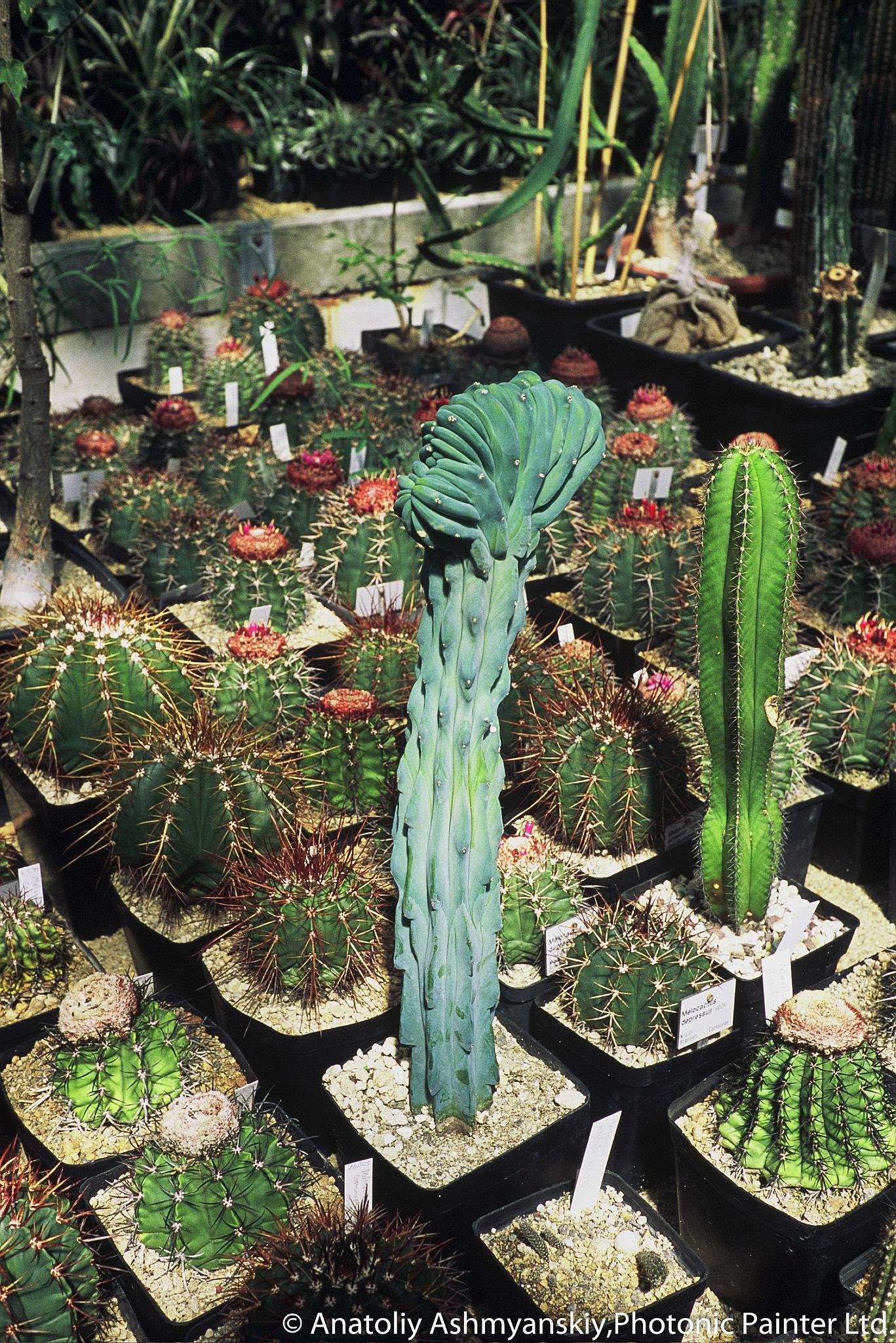 Brainy Cactus by Anatoliy Ashmyanskiy