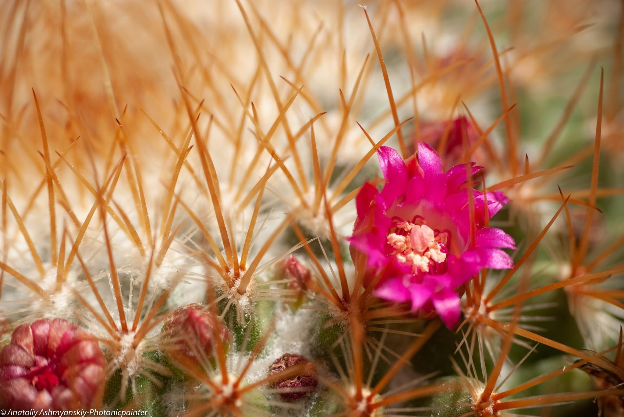 Small flower of mamillaria cactus by Anatoliy Ashmyanskiy