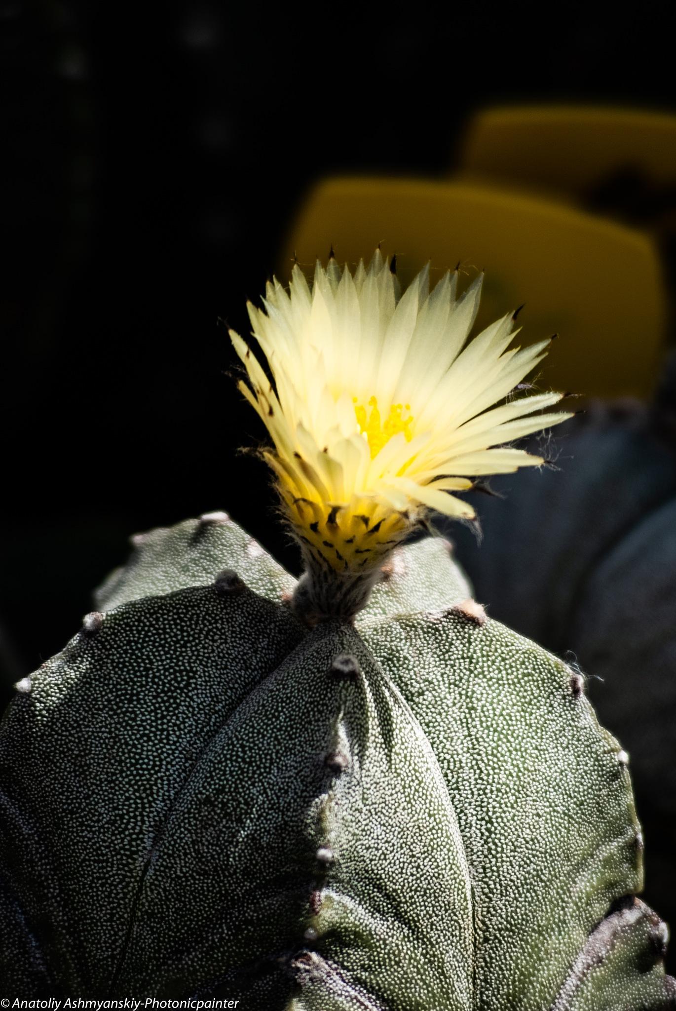 Cactus by Anatoliy Ashmyanskiy