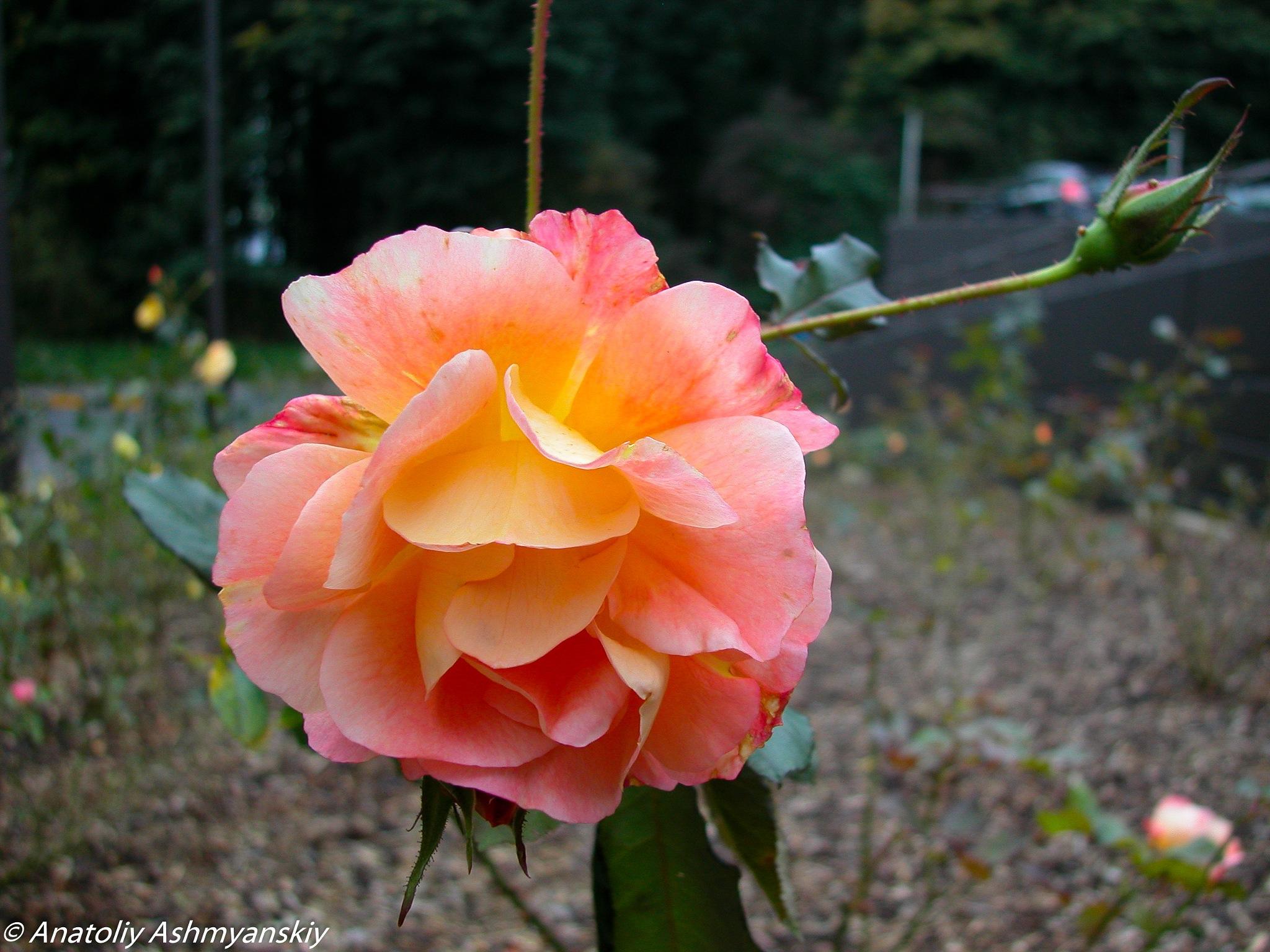 Shining rose by Anatoliy Ashmyanskiy