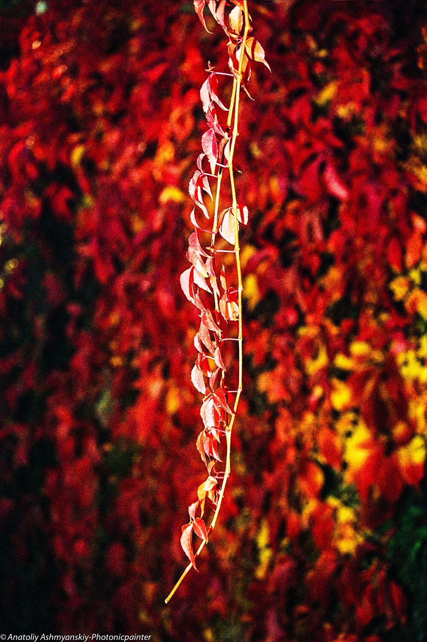 Autumn leafs by Anatoliy Ashmyanskiy