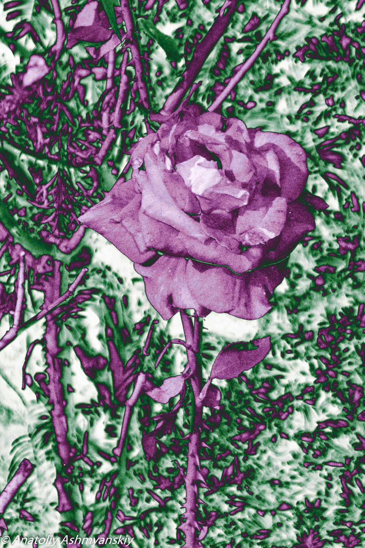 Rose 1 by Anatoliy Ashmyanskiy