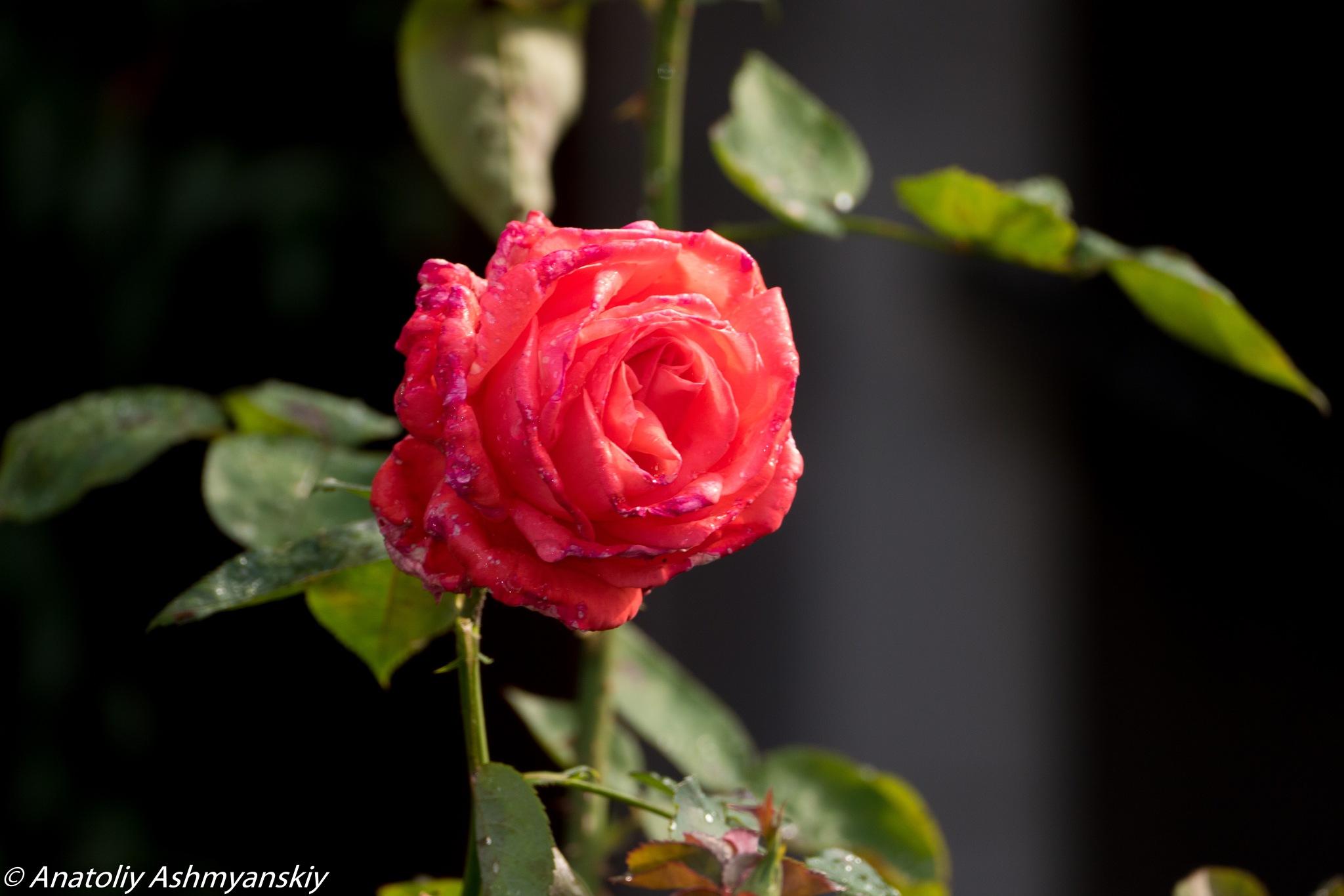 Red rose by Anatoliy Ashmyanskiy