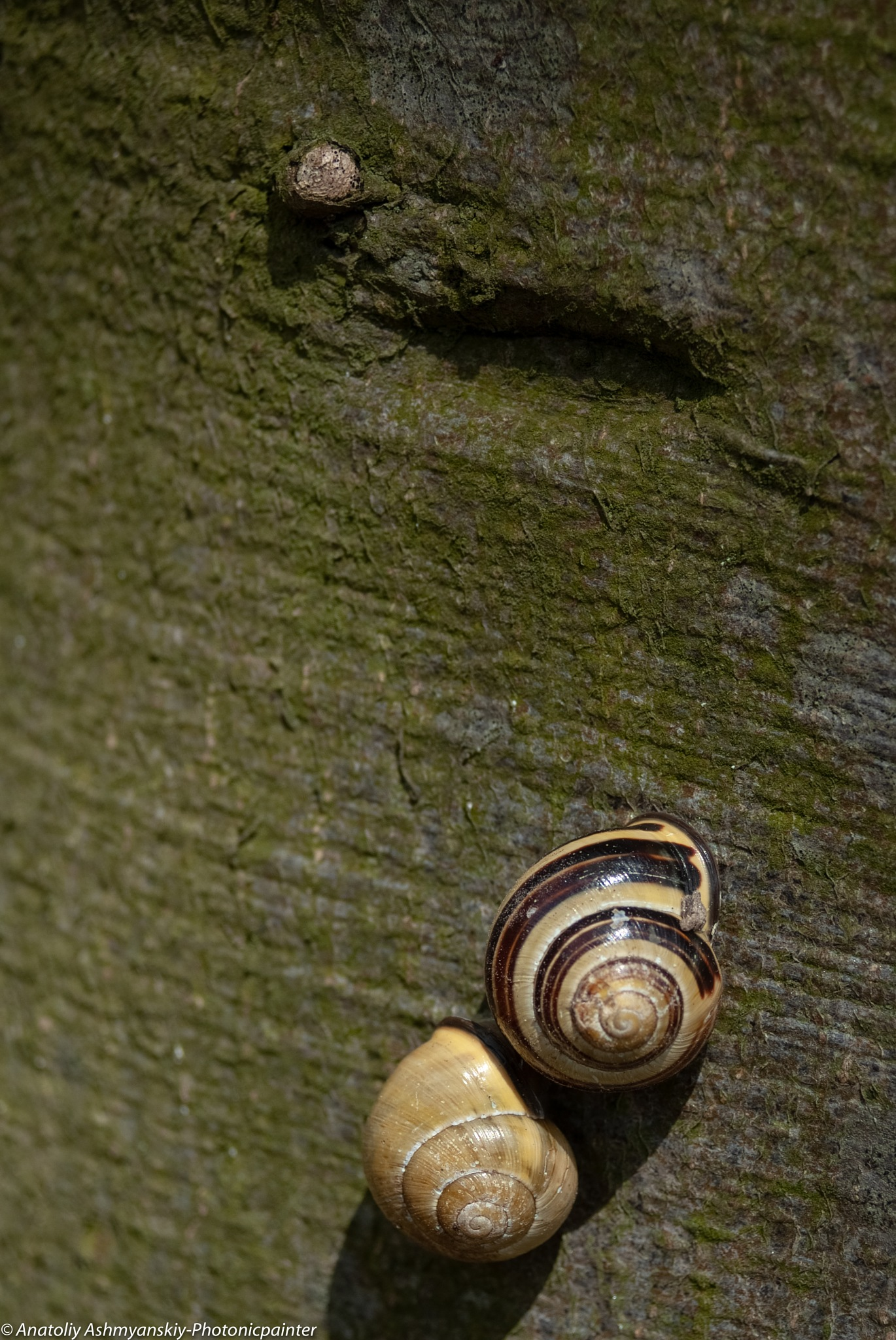 Snails by Anatoliy Ashmyanskiy