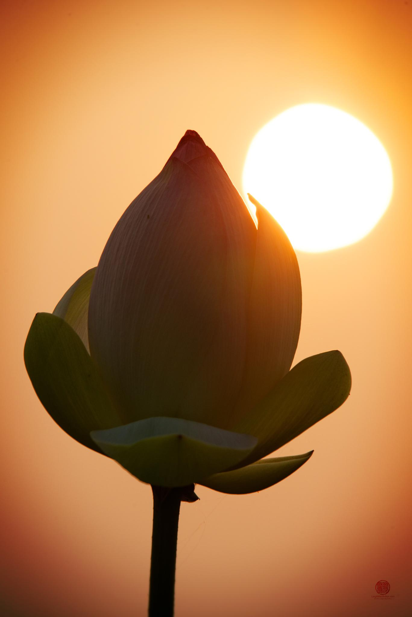 Photo in Nature #bud #flower #lotus #sun #orange #stem #asia #asian #orient #oriental #korea #korean #nature