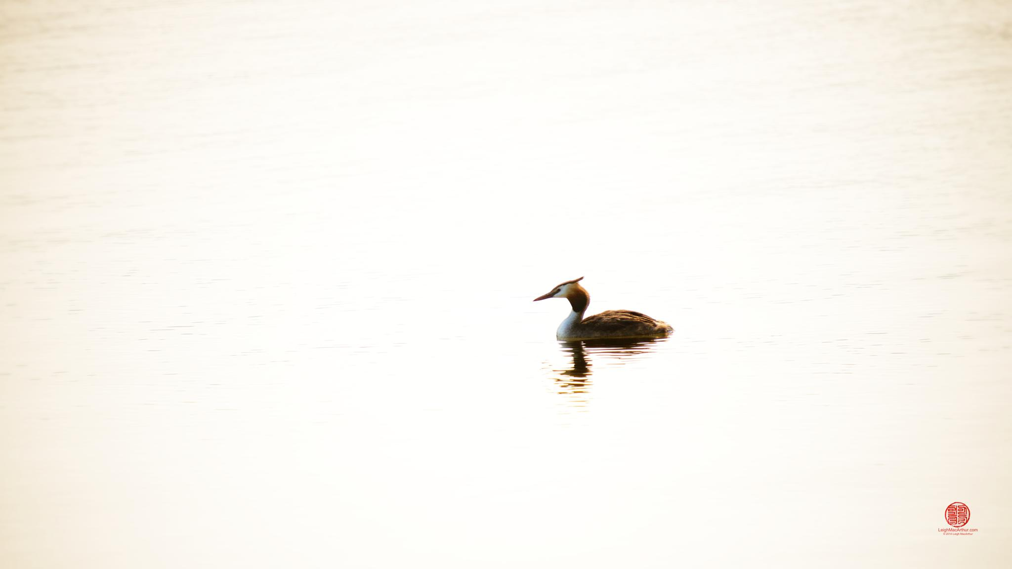 Photo in Nature #great #crested #grebe #bird #swimming #lone #alone #single #male #reflection #late #afternoon #swim #sunset #high #key
