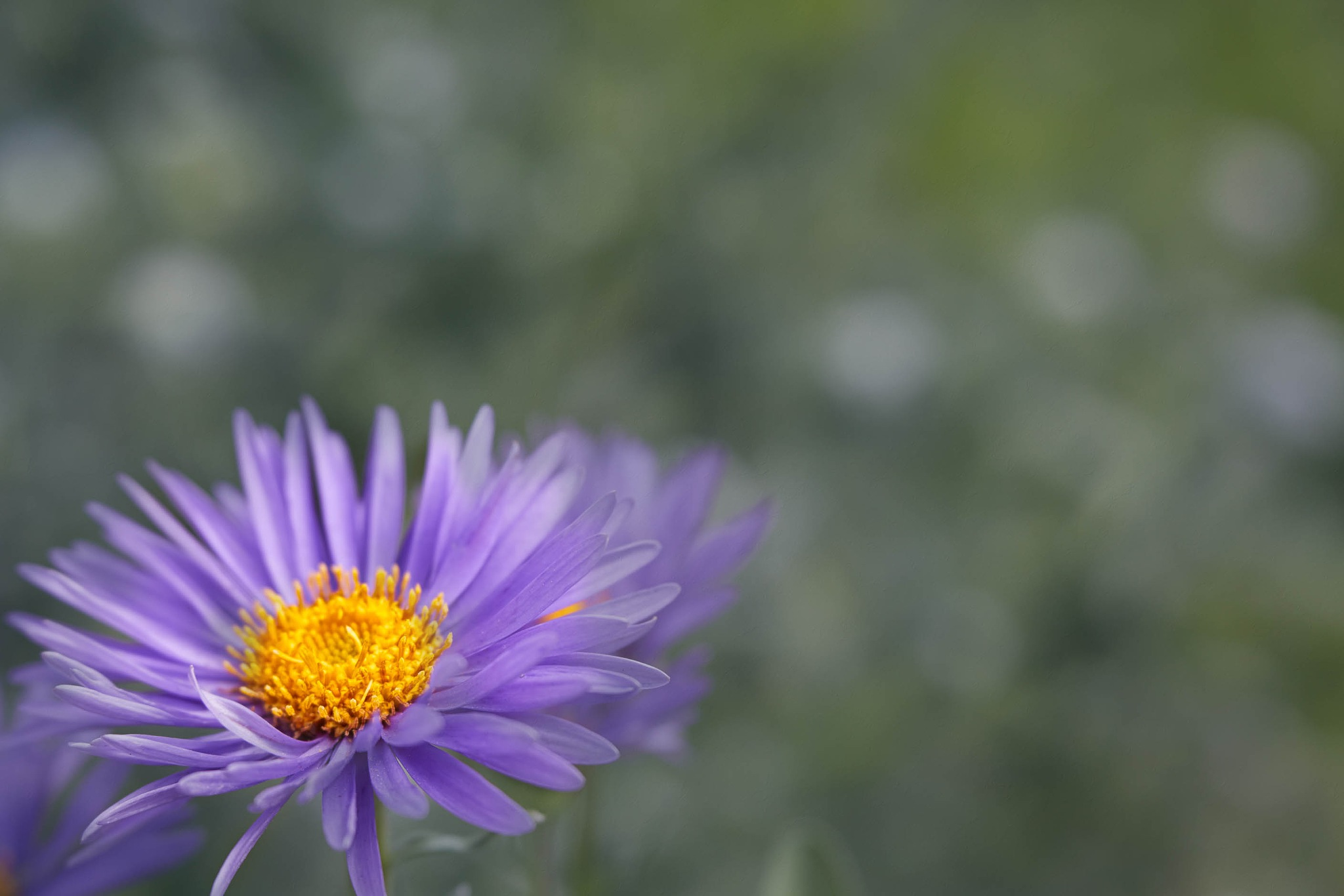 Aster by cenk sarvan