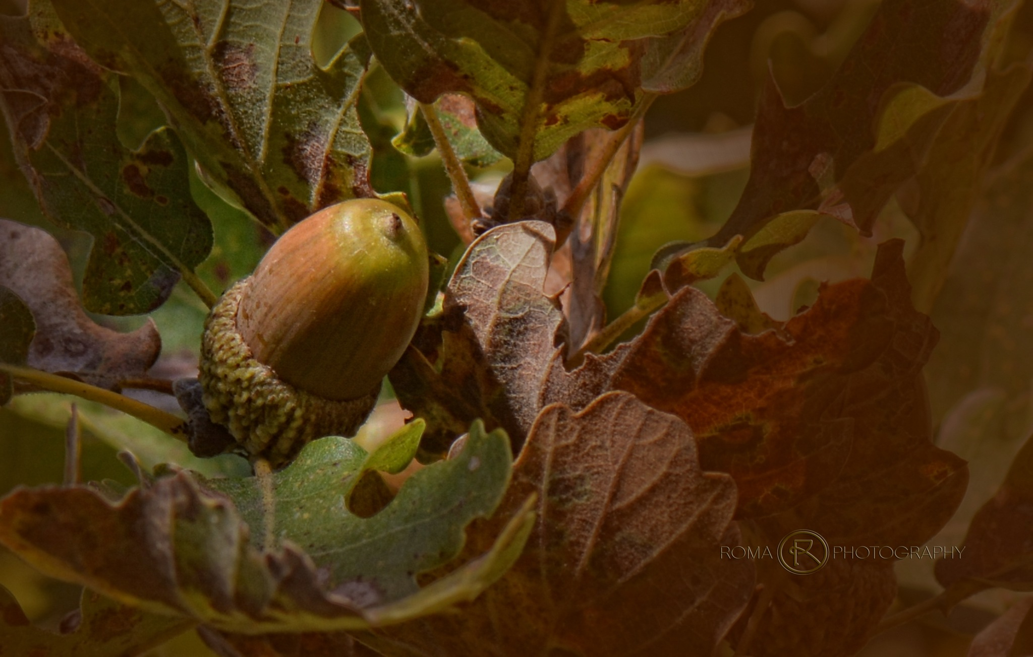 oak nut 3 by Roma Photography