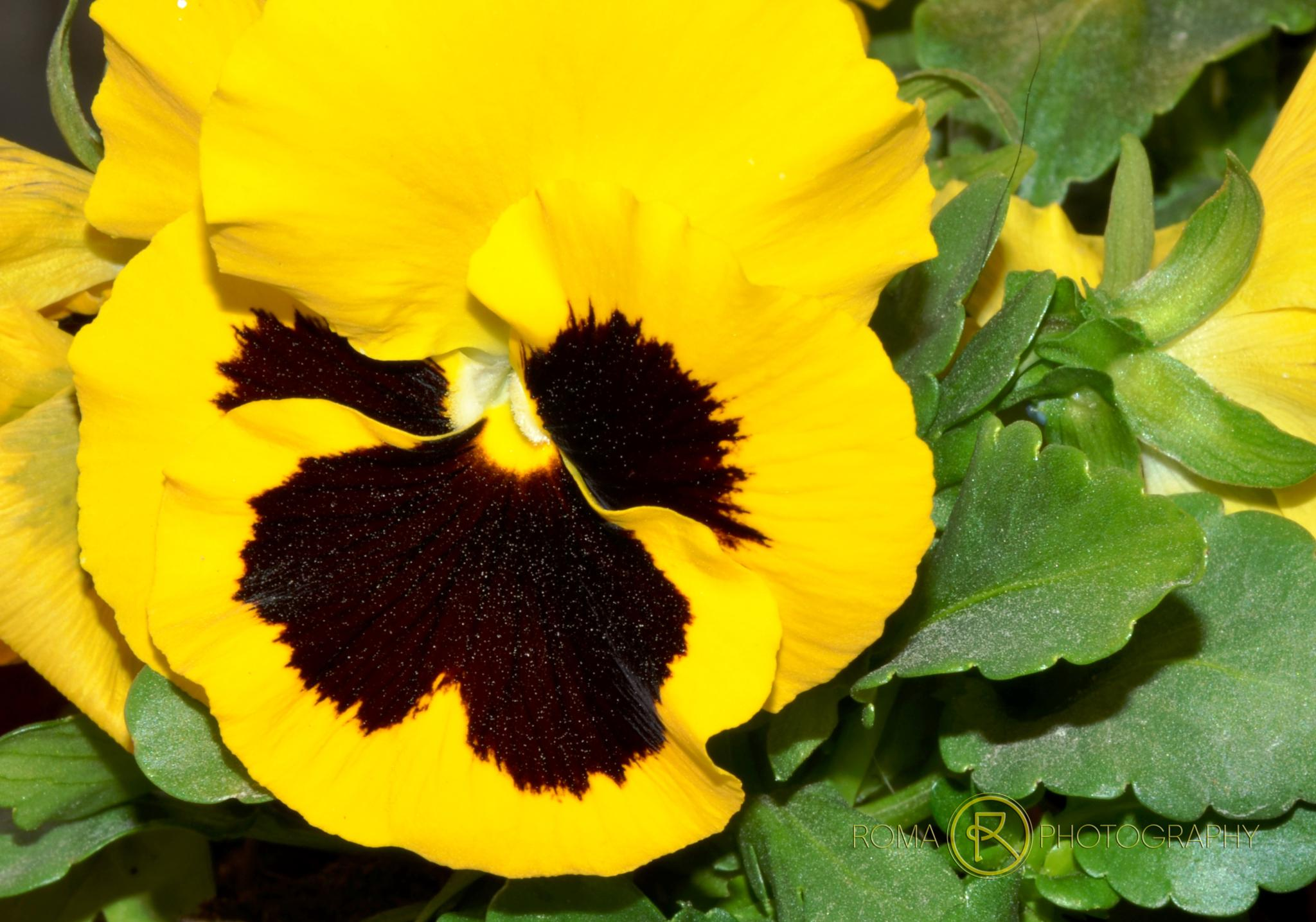 yellow pansies by Roma Photography