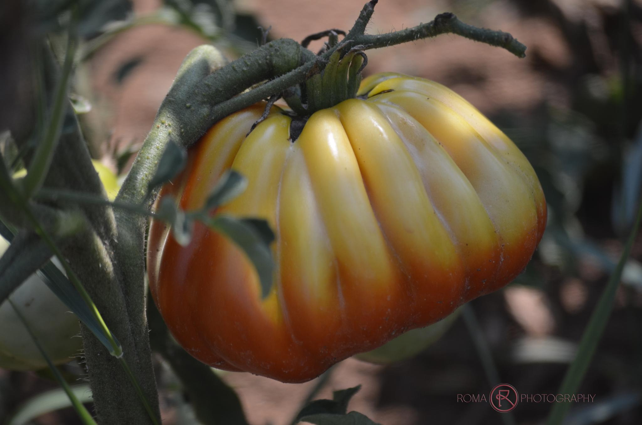 tomatoes by Roma Photography