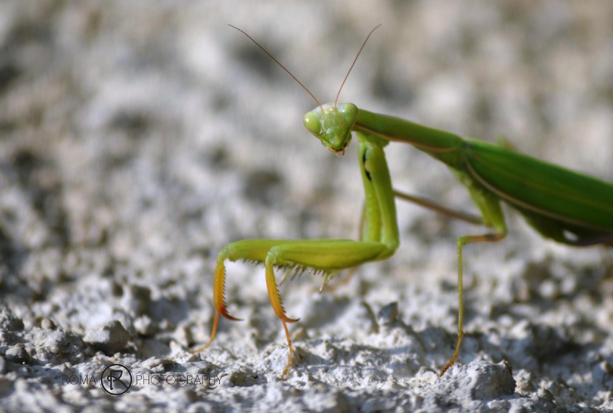 mantis by Roma Photography