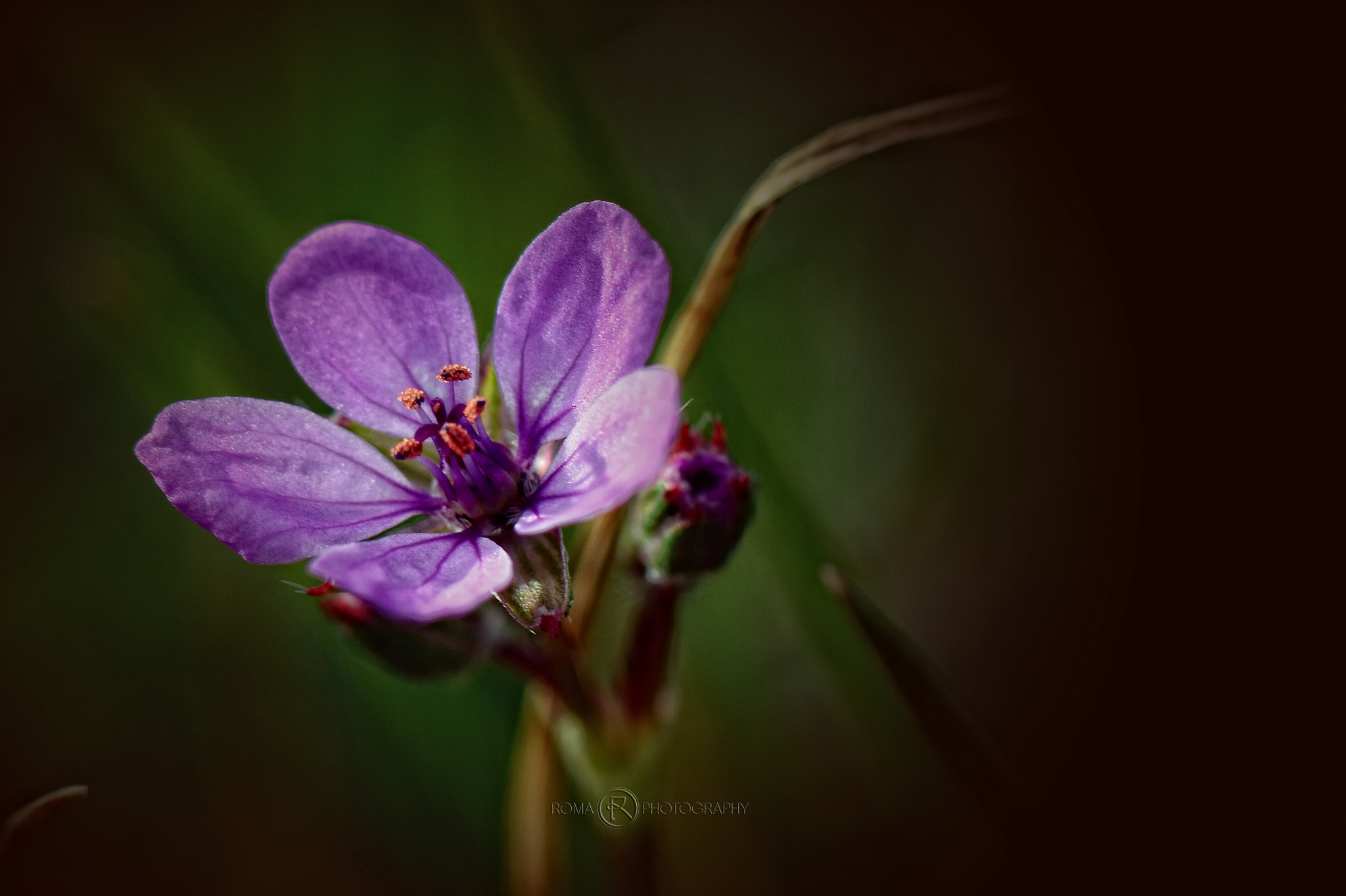 a purple dream by Roma Photography
