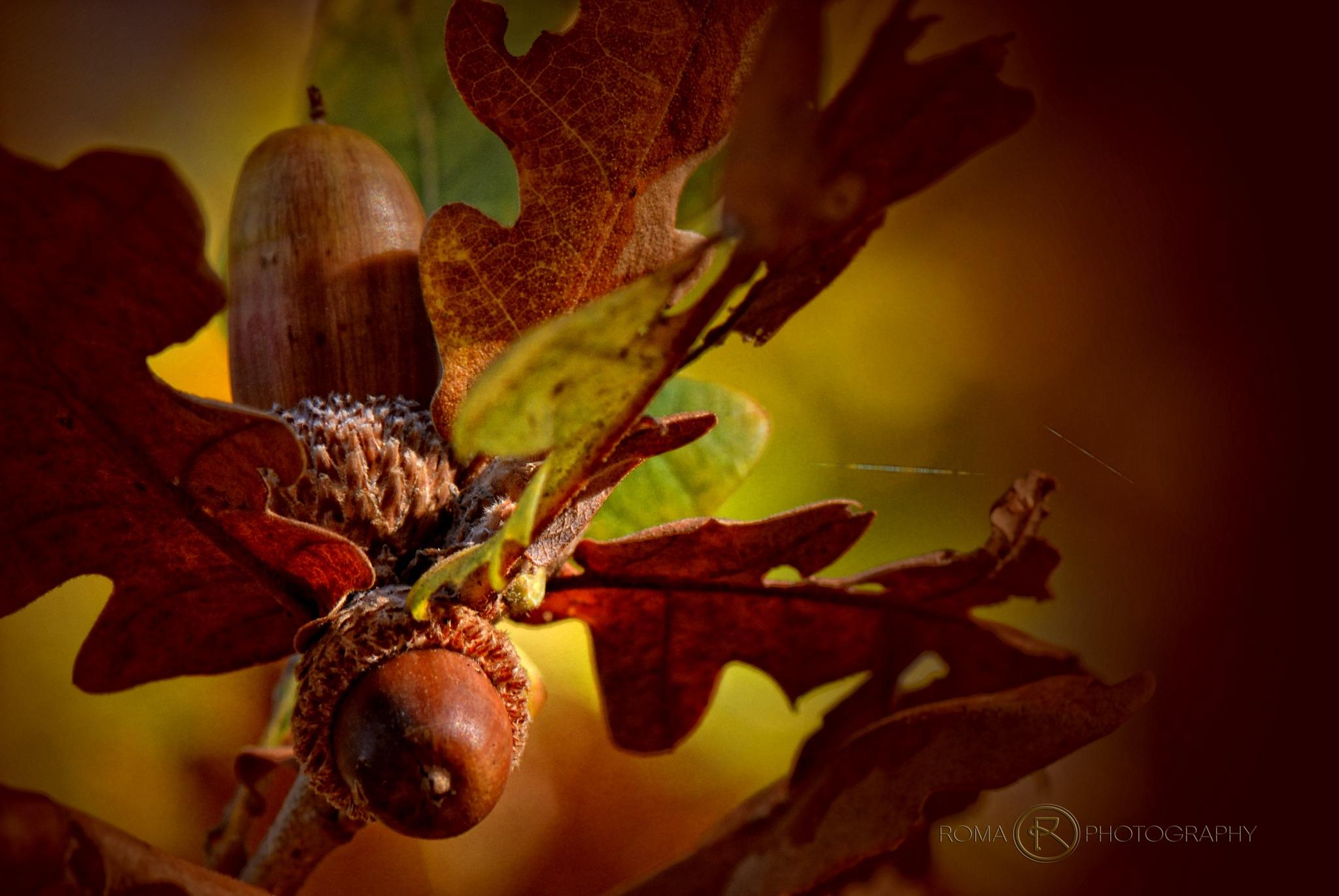 oak nut 1 by Roma Photography