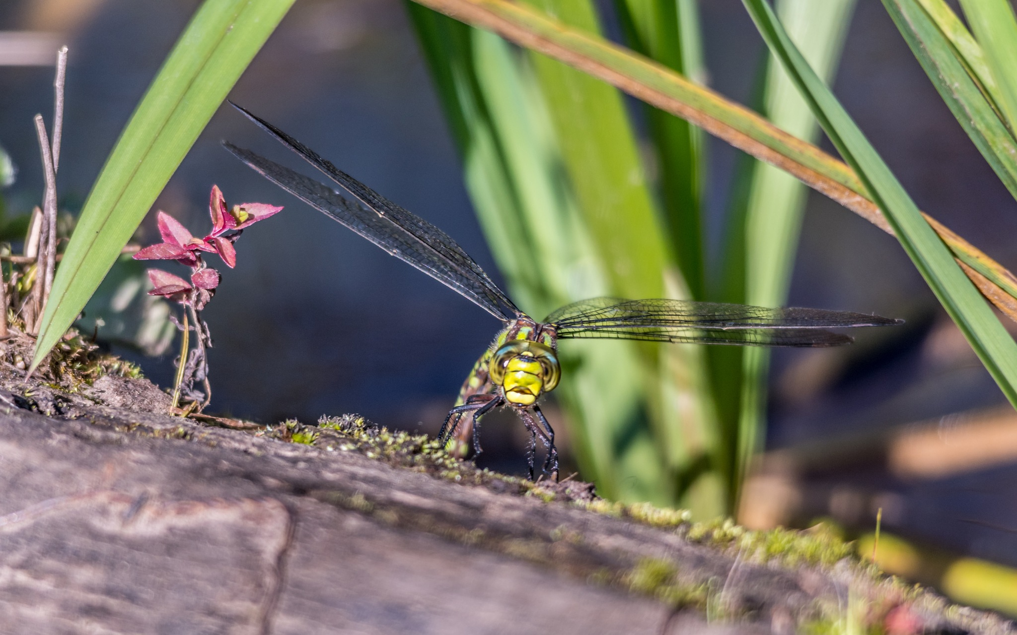 Female Emperor Dragonfly by mg1631