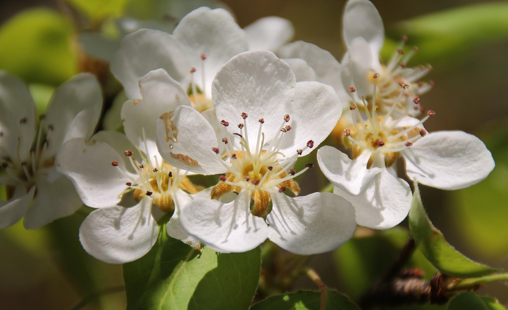 Almond Blossom by Francis AV