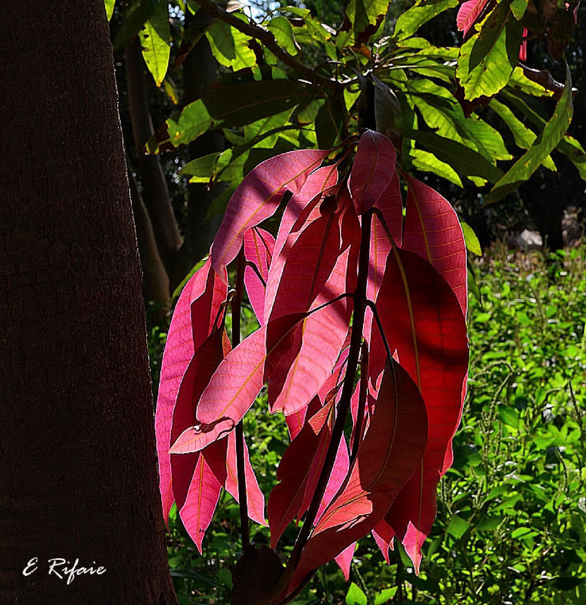 Mango leaves by Emad Eldin Moustafa El Refaie
